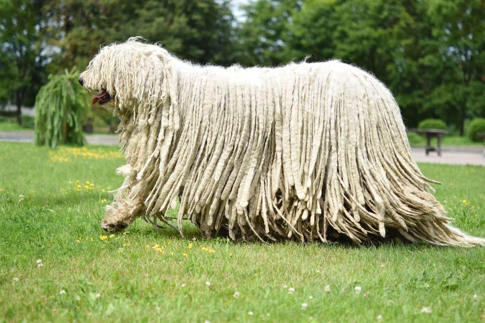 可蒙多犬(Komondor).jpg
